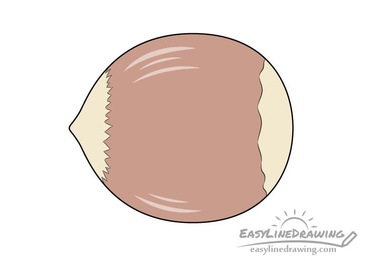 Hazelnut drawing