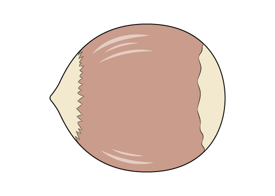 Hazelnut drawing tutorial