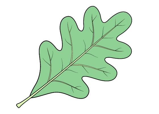 Oak leaf drawing tutorial