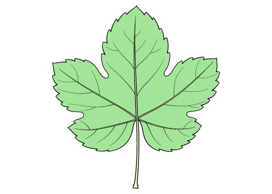 Grape leaf drawing tutorial